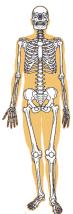 骨盤骨格図